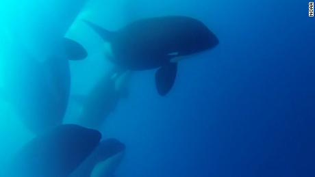 Scientists have found what could be a new kind of killer whale