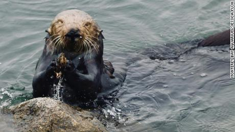 Otters use tools to eat, and it's recording their history