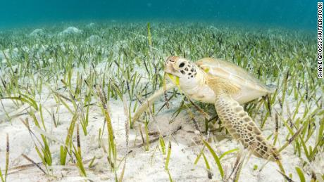 The perfect Bahamas wedding? It starts with turtles