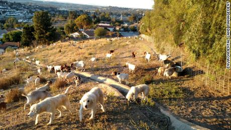 Great Pyrenees guardian dogs protect grazing goats from predators.