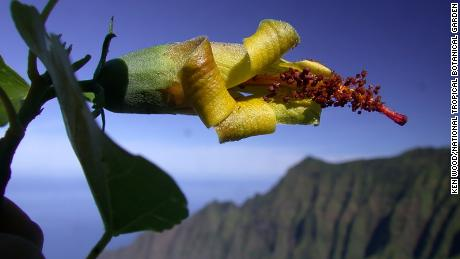 Hawaiian flower, as extinct, rediscovered by a drone