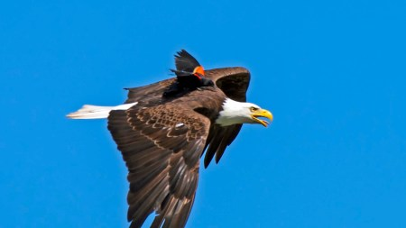 A Blackbird Hopped On The Back Of A Bald Eagle, But It Turns Out That It  Wasn't A Joyride - CNN