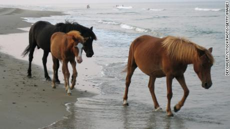 Wild horses walking on the beach of the Outer Banks