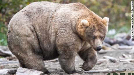 Holly, the 2019 Fat Bear Week champion.