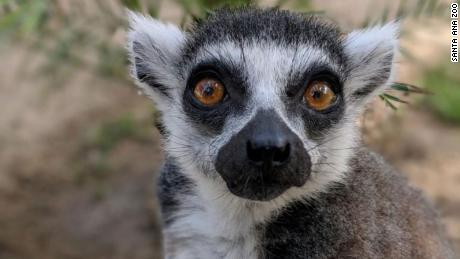 A teenager stole an endangered lemur from a zoo. Now he's been sentenced to federal prison
