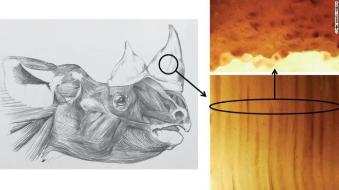 Researchers created faux horns using horsehair, which they glued together to mimic real rhino horn.