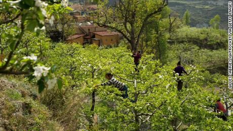 Nel Sichuan, In Cina, gli agricoltori impollinare gli alberi di mele a mano. L'uso massiccio di pesticidi significa che gli agricoltori hanno a che fare le api' opera, anche se impollinazione, inoltre, aumenta la produttività e consente di impollinazione incrociata.