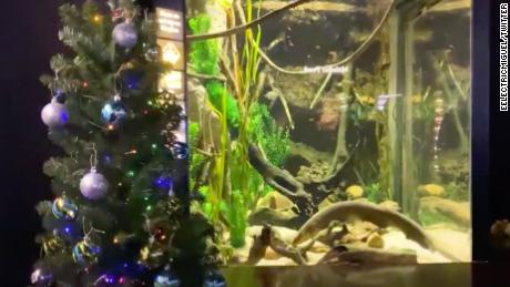 An electric eel named Miguel Wattson is powering lights on a Christmas tree at the Tennessee Aquarium