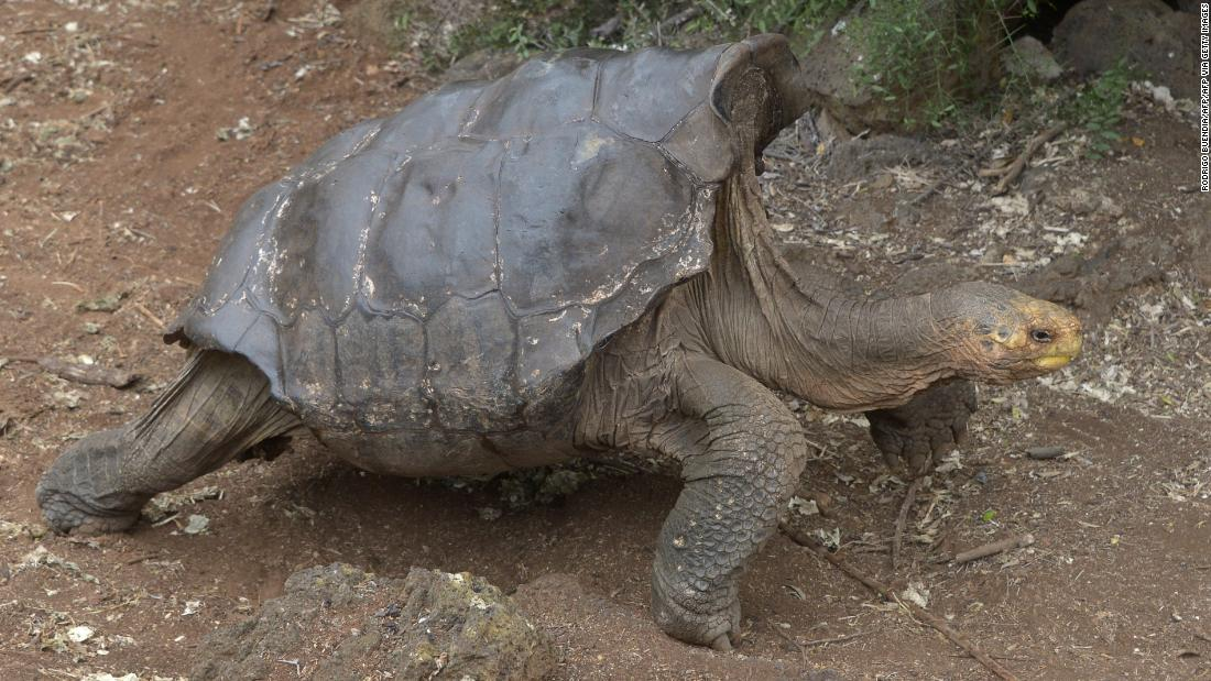 Photo of Diego the horny tortoise saved his species from extinction. Now he is again for extra