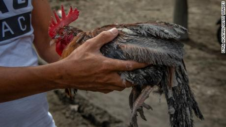 A resident carries a rooster covered in volcanic ash from the eruption of the Taal volcano in Laurel, Batangas province.