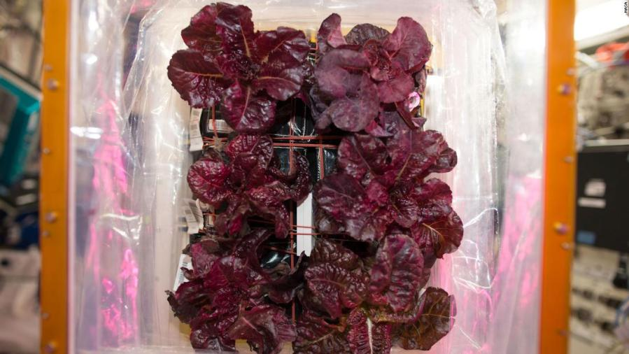 Space-grown lettuce is safe to eat, says study. Delicious, say astronauts 3