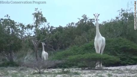 Rare white giraffes killed by poachers at Kenyan wildlife sanctuary
