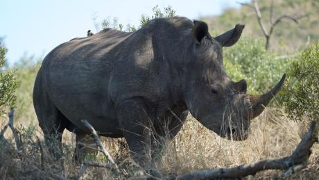Why the number of white rhinos has increased by 34,000%