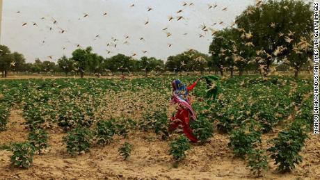 Нью-Дели в состоянии повышенной готовности после того, как пустынная саранча заполонила соседний Гургаон