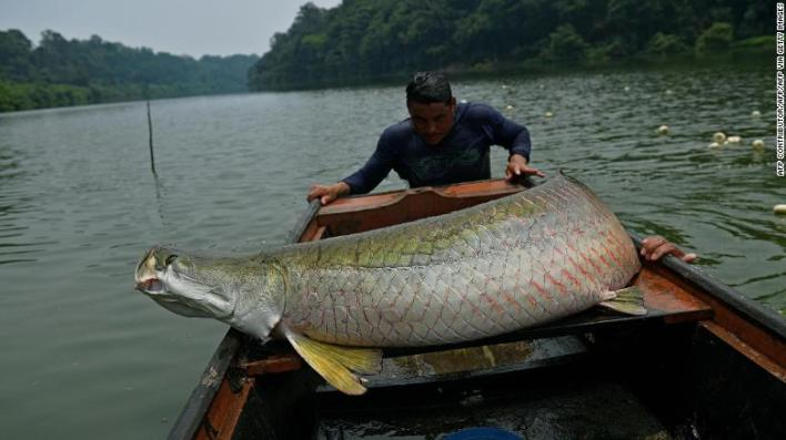 Fishermen load an arapaima onto their boat in the Western Amazon region near Volta do Bucho in the Ituxi Reserve on September 20, 2017.