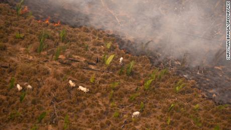 In mid-August, cattle next to smoke from a fire in LaBarre, Amazonas state.