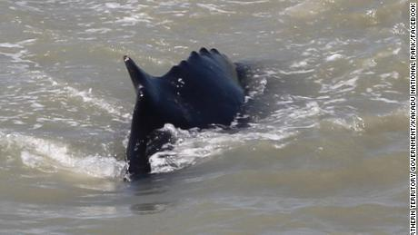 An exclusion zone was put in place in Kakadu National Park, after three humpback whales entered the East Alligator River in Australia's Northern Territory.