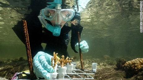Marine biologist Emma Camp studied mangrove coral on Australia's Great Barrier Reef.