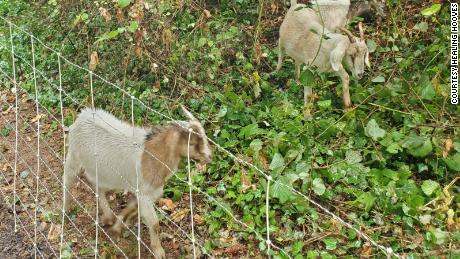 The goats don't mind working on steep slopes.