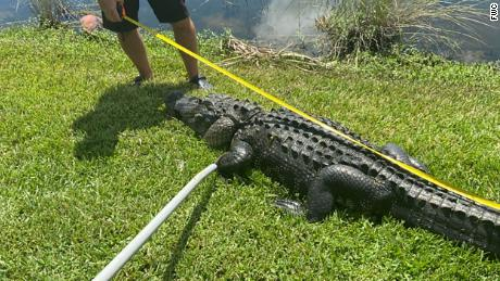 A Florida woman was attacked by a 10-foot alligator while trimming trees