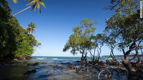 Mangroves are very effective at storing carbon.