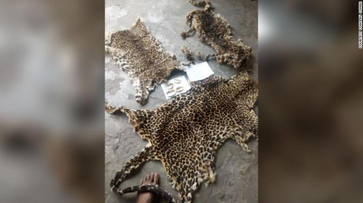 These leopard skins were confiscated from poachers in the Democratic Republic of Congo during the pandemic.