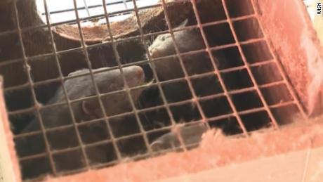 10,000 mink are dead in Covid-19 outbreaks at US fur farms after virus believed spread by humans