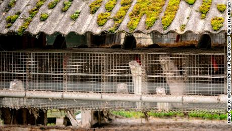 The Danish government earlier this month ordered mink farms to cull more than 1 million of the animals.