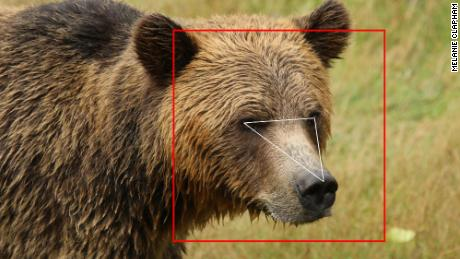 Face recognition isn't just for humans — it's learning to identify bears and cows, too