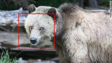So far, BearID has collected 4,674 images of grizzly bears.