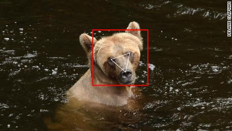 BearID software spots the face of a bear in an image.