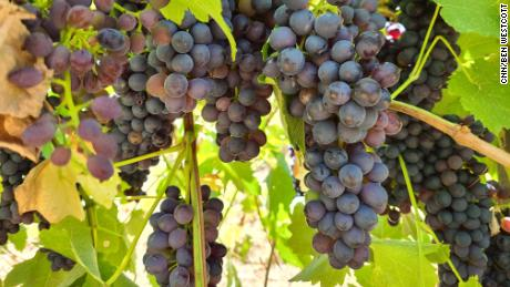 Grapes on the vine at Tahbilk winery in central Victoria in February 2020.