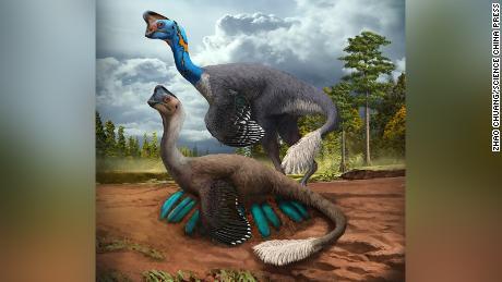 An attentive oviraptorid theropod dinosaur broods its nest of blue-green eggs while its mate looks on in what is now Jiangxi Province of southern China some 70 million years ago. Artwork by Zhao Chuang.
