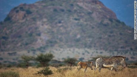 A Grevy's zebra with her foal in Kenya's Samburu National Reserve.