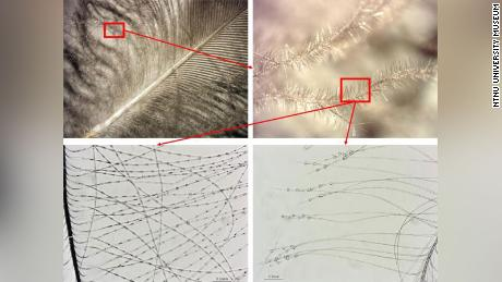 Zooming in on individual areas of a feather helped researchers determine which birds the feathers came from.