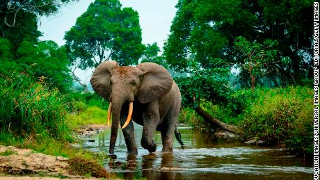 An African forest elephant is pictured in the Lekoli River, Odzala-Kokoua National Park, Cuvette-Ouest Region, Republic of the Congo in August 2014.