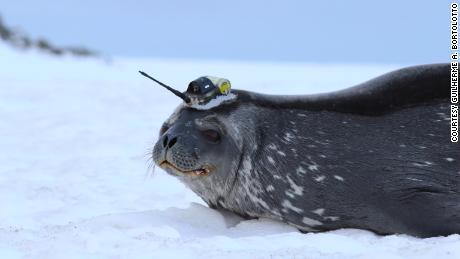 Le foche antartiche stanno aiutando gli scienziati a saperne di più sullo scioglimento dei ghiacciai