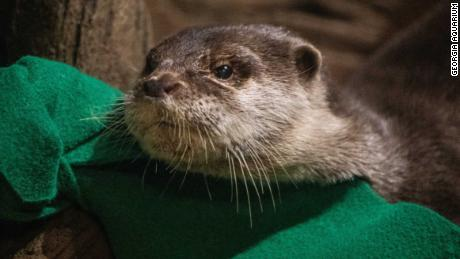 The Georgia Aquarium said it tested its Asian small-clawed otters after they showed symptoms.