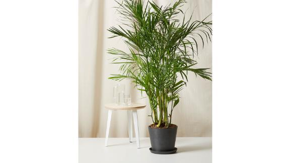 Extra-Large Bamboo Palm