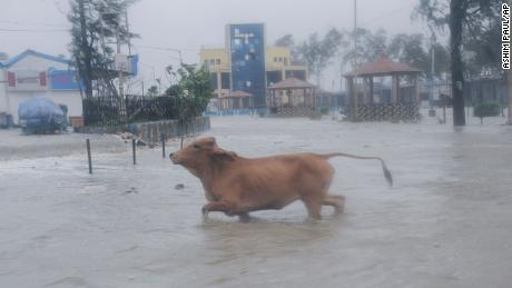 A cow runs through high tide water in Digha, West Bengal, India, on May 26.