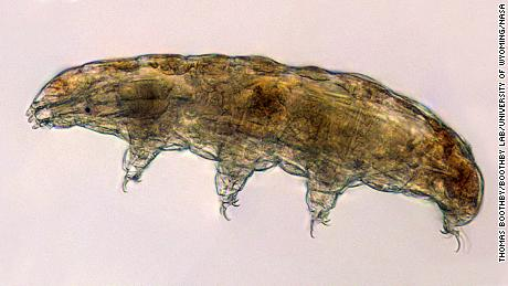 "Under a microscope, tardigrades look a bit like tiny bears -- hence their nickname, ""water bears."""