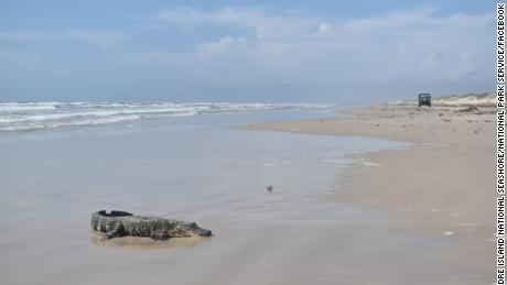 An alligator from Louisiana was discovered on a South Texas beach more than 400 miles away, raising questions about how it got there