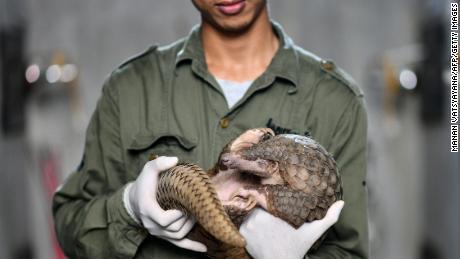 A Save Vietnam's Wildlife keeper holding a pangolin inside its enclosure, September 2020.