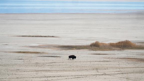 A bison walks in April along the receding edge of the Great Salt Lake on its way to a watering hole at Antelope Island, Utah.