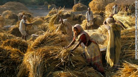Low caste women threshing maize in a village near Lucknow, North India.