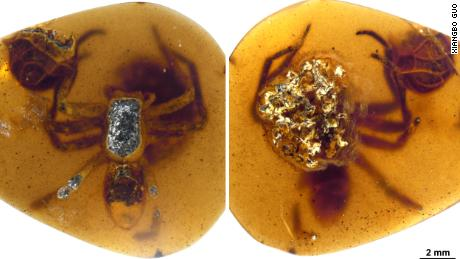 A female lagonomegopid spider and her egg sac in Burmese amber