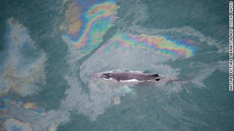 A humpback whale  swims through an oil slick in Skjalfandi Bay, Northern Iceland, in 2009.