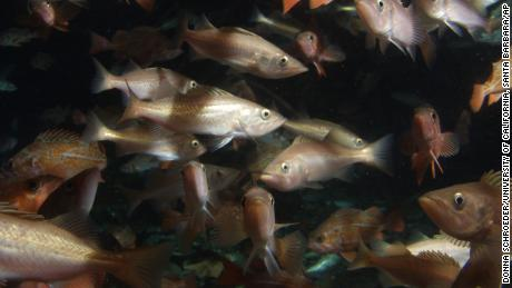 A school of rockfish swims near the base of an oil platform off the coast of Ventura, California, in 2003.