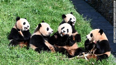 Giant pandas at the Shenshuping Base of the China Conservation and Research Center for the Giant Panda, which will become part of the Giant Panda National Park in Sichuan, China, on September 3.