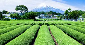 日本茶の産地偽装を受け、信頼性やトレーサビリティ向上に向けVeChainの技術で概念実証を実施